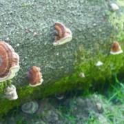 Faux-amadouvier du pin