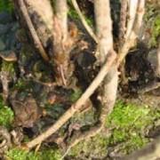 Phellin des groseilliers