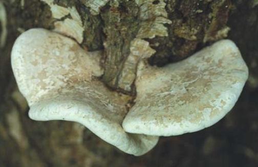 Polypore du bouleau