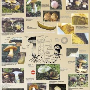 Biologie des champignons à tubes