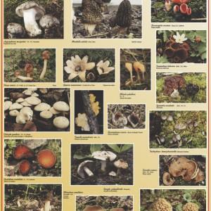 Des champignons de printemps