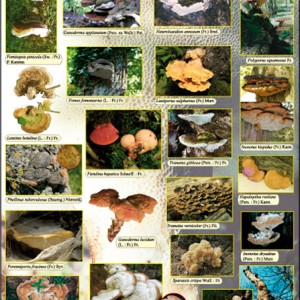 Quelques champignons polypores