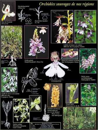 orchid-bota