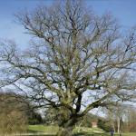 Chêne pédonculé d'Enghien