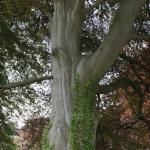 Hêtre pourpre tricolore de Vaulx