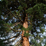 Séquoia géant d'Enghien