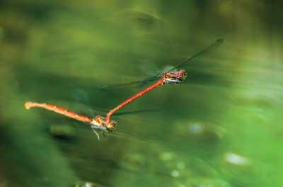 Petite nymphe au corps de feu (Pyrrhosoma nymphul)