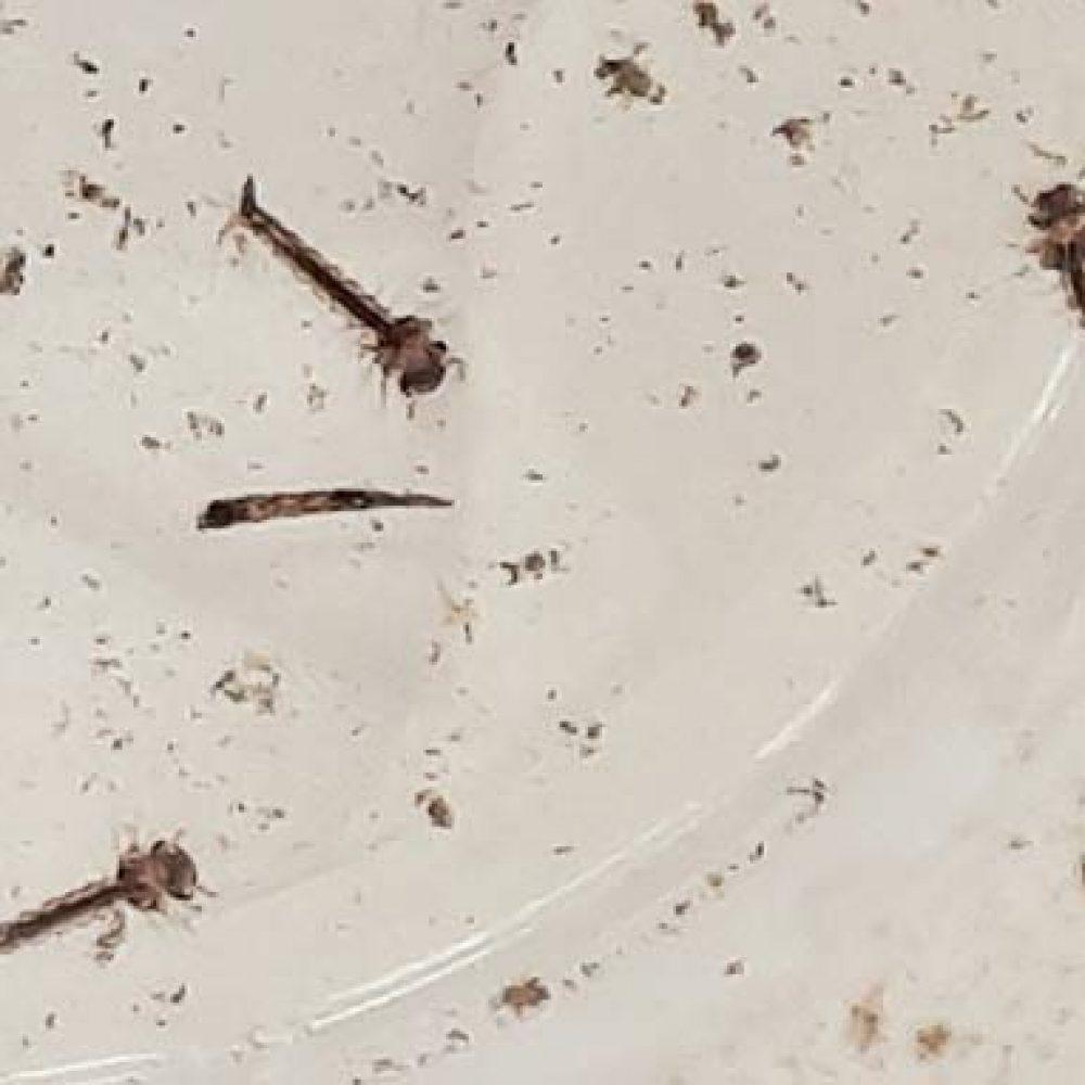 invasion de mouchettes, mouches, moustiques (illustration: larves de moustiques)