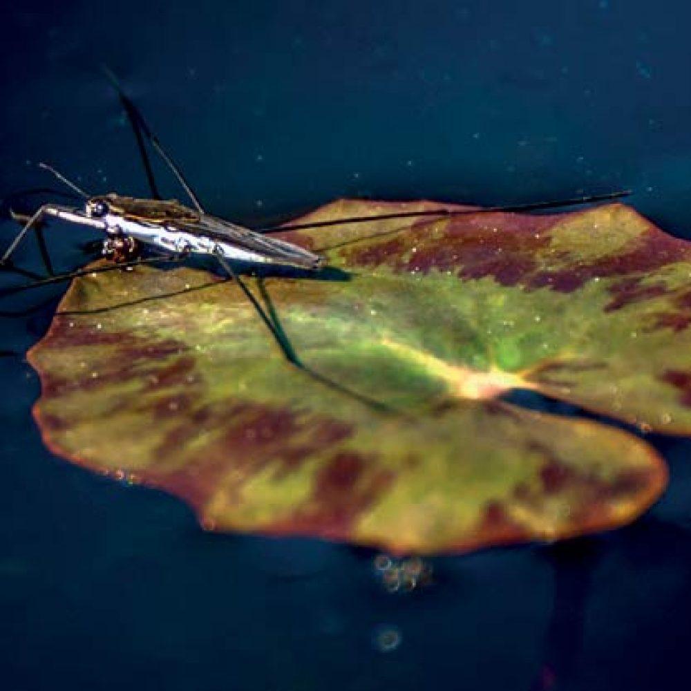 Araignée d'eau