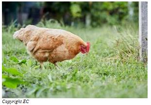 Réponse à une initiative citoyenne européenne: la Commission propose la suppression progressive des cages pour les animaux d'élevage