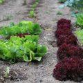 Cultures de salades diverses